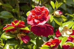 Rose bush. In flower park in Greenwich, London royalty free stock photography