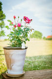 Rose bush in flower pot on wooden terrace over sky Royalty Free Stock Photography