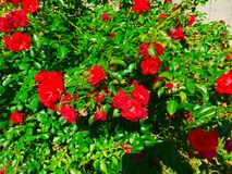 Rose Bush. A flowering rose bush Stock Image