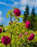 Rose bush flowers on a blue sky background image for postcards, backgrounds, gifts and other purpose. beautiful and colorful image. Of seasonal park royalty free stock photography
