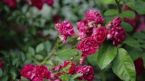 Rose bush stock video footage