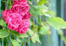 Rose bush flowers. In garden during blossoming period Stock Image