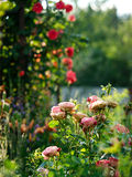 Rose bush in a garden. Stock Images