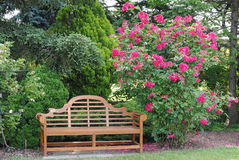 Rose Bush and a Garden Bench. Garden bench next to a blooming pink rose bush Royalty Free Stock Photos