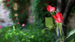 Rose bush in a garden stock footage