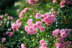 Rose Bush in the garden. Vintage shrub rose in the garden Stock Image