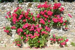 Rose Bush Growing On que sube una pared Imagenes de archivo
