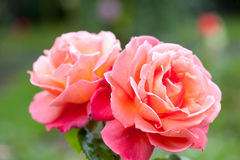Rose Bush Hybrid Tea Rose Troika Stock Photography