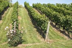Rose Bush i en vingård #1 Arkivfoton