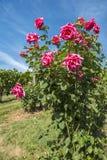 Rose Bush i en vingård #5 Arkivbilder