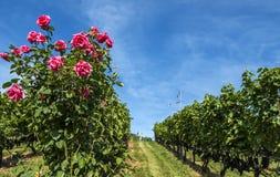 Rose Bush i en vingård #2 Royaltyfri Fotografi
