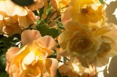 Rose Bush jaune image libre de droits