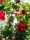 Rose Bush Royalty Free Stock Photo