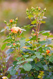 Rose bush with many buds Stock Images