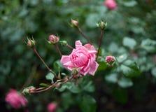 Rose Bush no botão Imagem de Stock Royalty Free