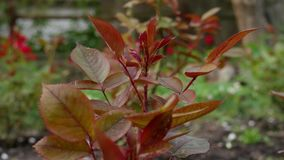 Rose Bush op Aanplanting in Tuin stock footage