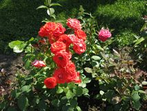 Rose of bush in park. Bush of red roses in the summer among the green foliage stock photo