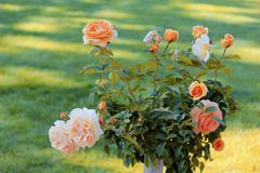 Rose bush peach color Stock Image