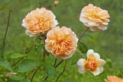 Rose bush peach color, english rose in the garden. Rose `Port Sunlight` rich in peach color David Austin, 2007 stock images