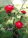 Rose bush. Photo of Knockout Rose bush showcasing it's bloomoing flowers Royalty Free Stock Photos