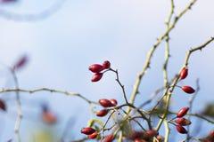 Rose bush Stock Image