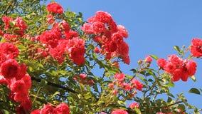 Rose bush stock footage