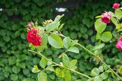 Rose bush Royalty Free Stock Photography