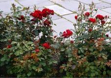 Rose Bush. Red Rose Bush At The Street Stock Photo