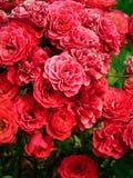 Rose Bush roja Imágenes de archivo libres de regalías