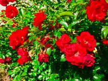 Rose Bush. Roses on a rose bush Royalty Free Stock Images