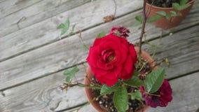 Rose Bush rossa miniatura Fotografia Stock
