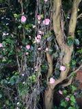 Rose bush spring bloom plants flowers Stock Images