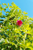 Rose in a bush Stock Photography