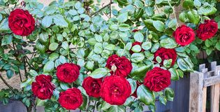 Rose Bush. Taken in 2015 Royalty Free Stock Photo