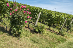 Rose Bush in a Vineyard #6 Stock Photos