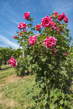Rose Bush in a Vineyard #5 Stock Images