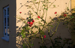 Rose bush at wall Stock Image