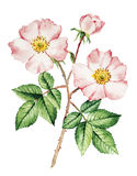 Rose bush watercolor. Rose bush flower botanical watercolor stock illustration