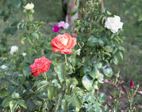 Rose bush with white and pink flowers Stock Photos