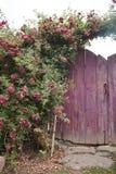 Rose bush on wooden gate. Rose bush overgrowing wooden gates. Ukrainian countryside Royalty Free Stock Photo