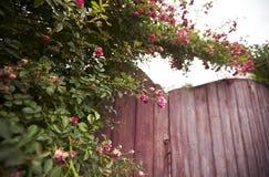 Rose bush on wooden gate. Rose bush overgrowing wooden gates. Ukrainian countryside Stock Photography