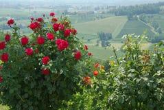 Rose bushes Royalty Free Stock Photos
