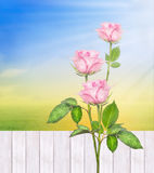 Rose bushes against  white fence in summer sunny garden , nature Royalty Free Stock Photo