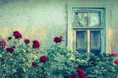 Rose bushes with broken window Stock Photos