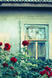 Rose bushes with broken window Stock Photo