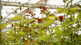 Rose bushes with buds of flowers stock footage