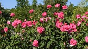 Rose bushes in garden. Pink rose bushes in garden stock video footage