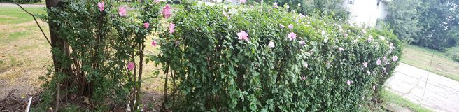 Rose bushes stock images