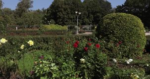 Rose bushes in the park. In the city park decorative flower bushes and Rose bushes stock video footage