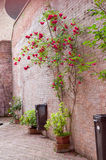 Rose bushes trained up a stone wall Royalty Free Stock Photo
